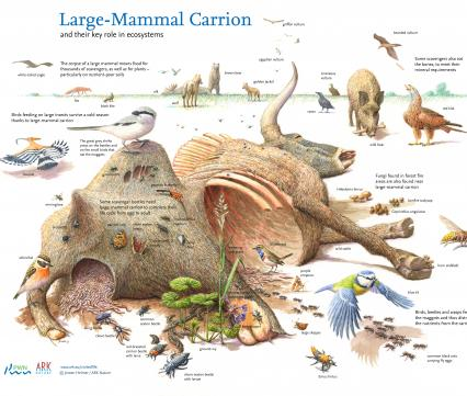 Large Mammal Carrion
