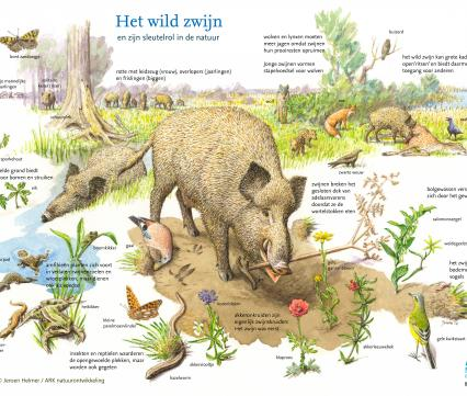 Het wilde zwijn en zijn sleutelrol in de natuur