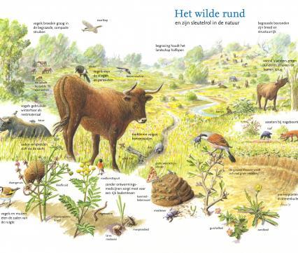 Het wilde rund en zijn sleutelrol in de natuur
