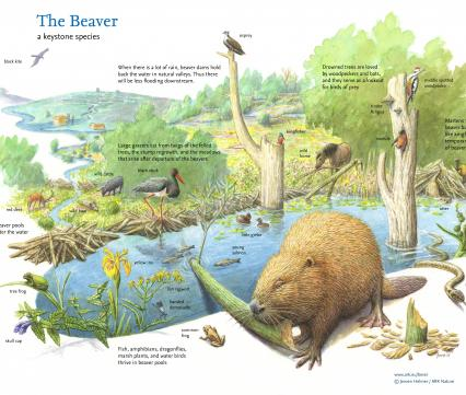 The Beaver a keystone species