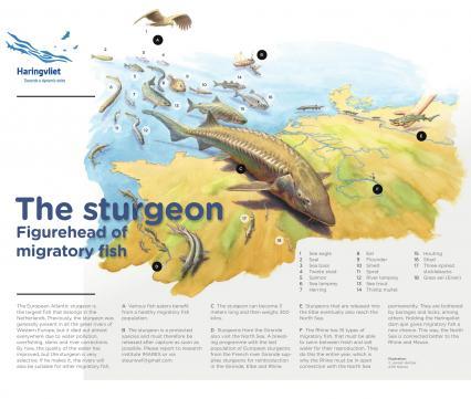 The Sturgeon figurehead of migratory fish