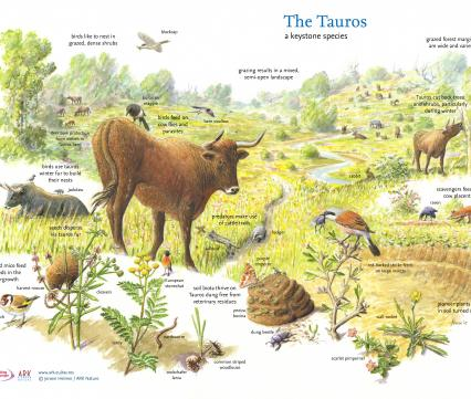 The Tauros a keystone species