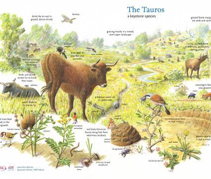 The Tauros a keystone species