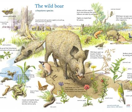 The Wild boar a keystone species