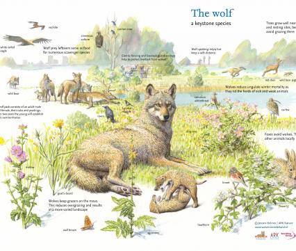 The Wolf a keystone species