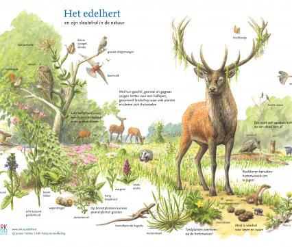 Het edelhert en zijn sleutelrol in de natuur