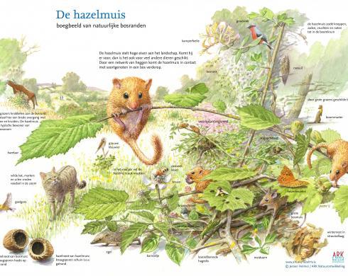 De hazelmuis. Boegbeeld van natuurlijke bosranden