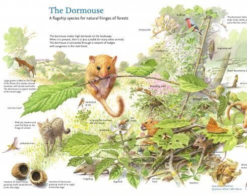 The Dormouse a flagship species